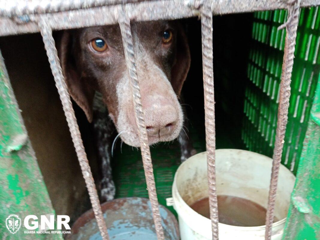 GNR-regatou-25-animais-de-um-canil-ilegal-em-Castelo-Branco